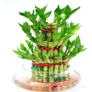 plants live-3 layer lucky-bamboo