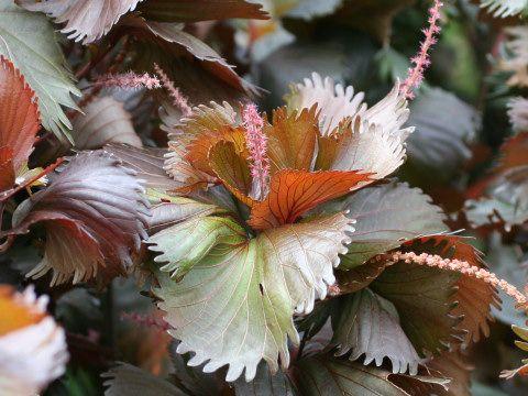 plantslive-Acalypha wilkesiana moorea - Plant
