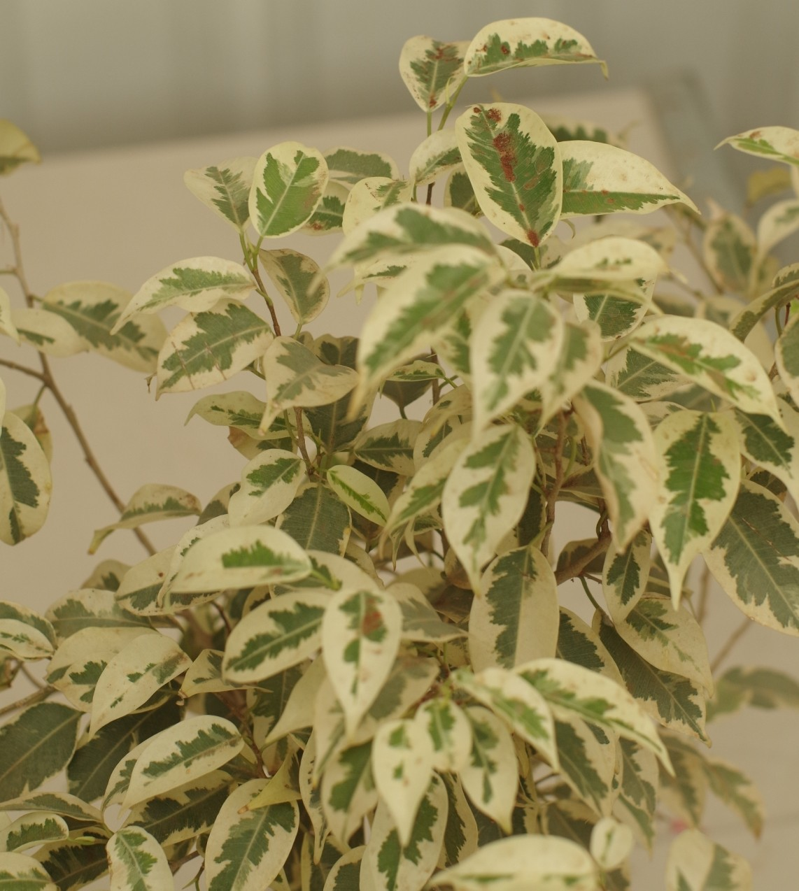 Ficus starlight plant buy live plants india for Plantes on line