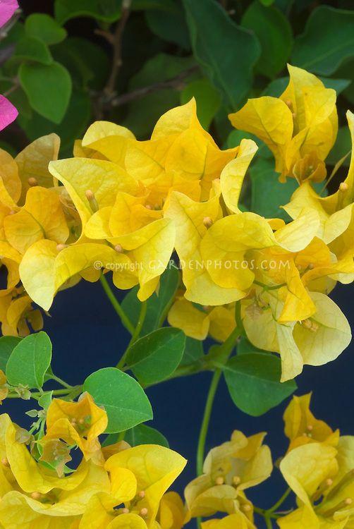 bougainvillea dwarf plant buy plants online india. Black Bedroom Furniture Sets. Home Design Ideas