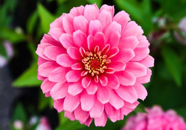 Big zinnia flowering plant buy live plants india - Flowers that mean friendship ...