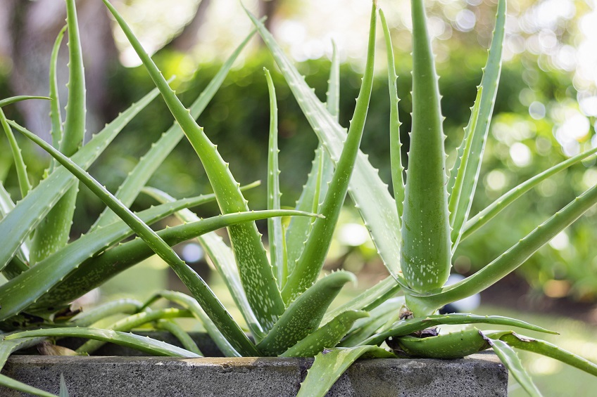 Billedresultat for aloe vera