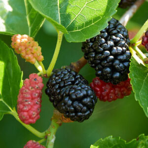 Black-mulberry-big-leaves