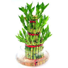 buy-lucky-bamboo-money-plants-online-india