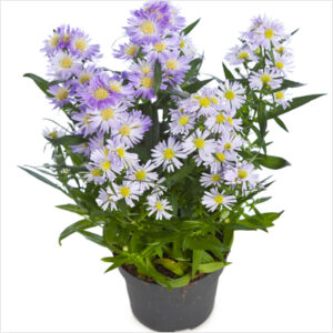 buy-plantslive-Aster-Lavender-india