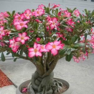 plantsive-Adenium-obesum-Desert-Rose-Impala-Lily5