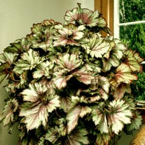 plantslive-Begonia-rex-india