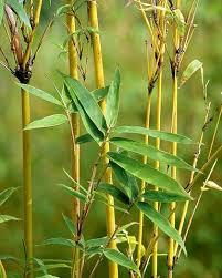 plantslive-buy-golden-bamboo-phyllostachys-aurea-plants