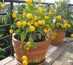 plantslive-lemon-seeds-plant