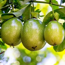 plantslive-passion-fruit-krishna-fal