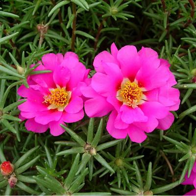 plantslive-portulaca-9-o-clock-pink