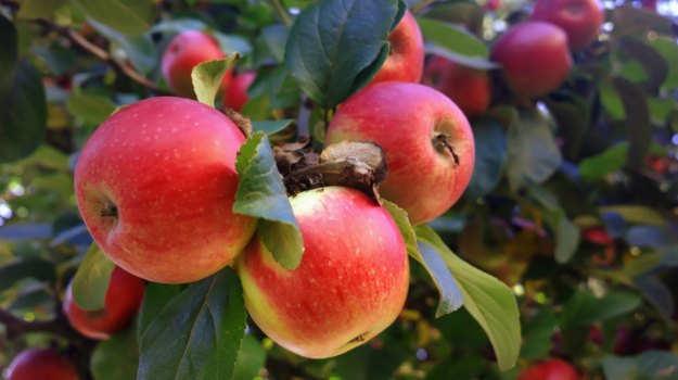 plantslive_apple_plant