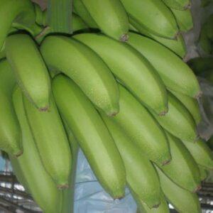 plantslive_G9_Banana