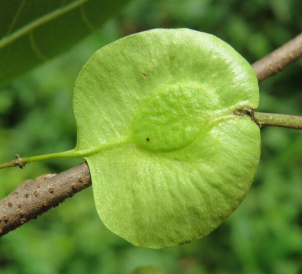 plantslive_Holoptelea_integrifolia