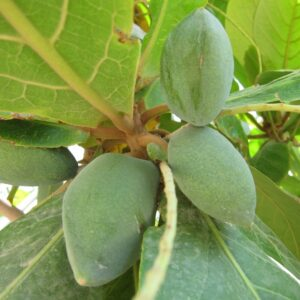 plantslive_Terminalia_catappa_Indian_Badam