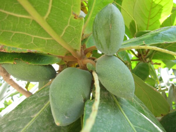 plantslive_Terminalia_catappa_Indian_Badam