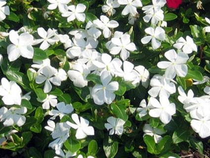 Vinca white plant plantslive buy plants online india for Buy plans online