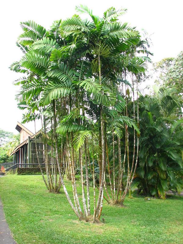 Ptychosperma macarthurii plant plantslive buy plants for Buy plans online