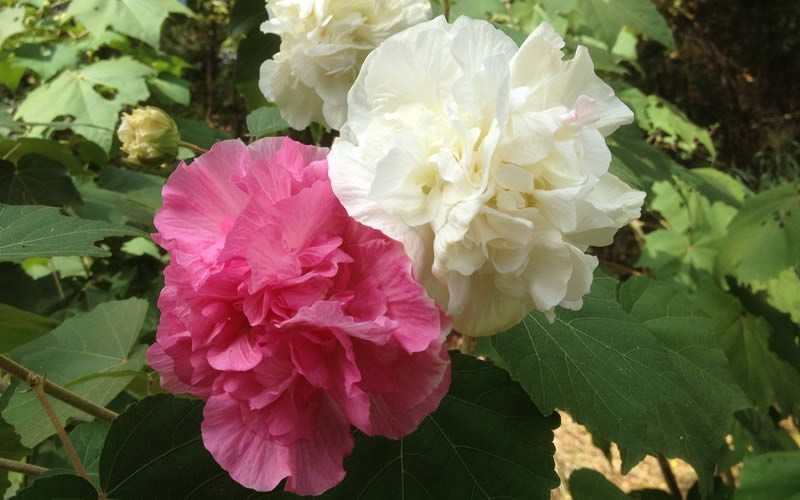 Hibiscus Mutabilis Plant Plantslive Buy Plants Online India