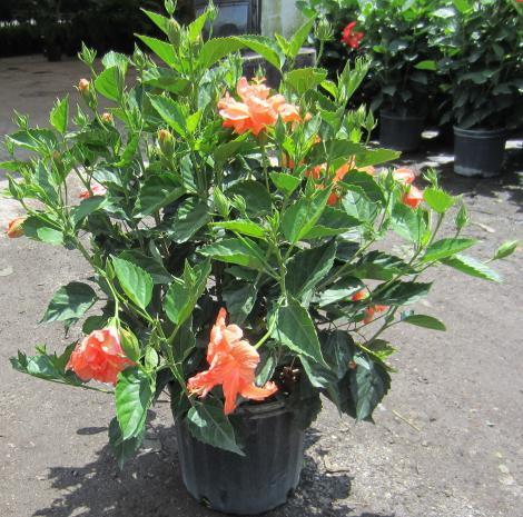 Hibiscus Plant Plantslive Buy Plants Online India