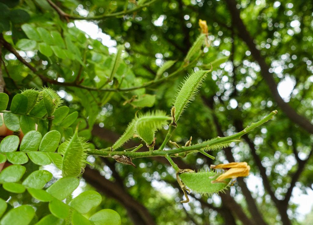 Caesalpinia echinata plant plantslive buy plants for Buy plans online