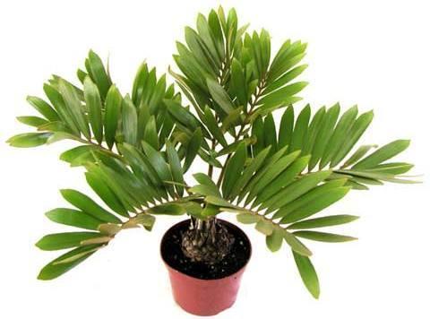 Zamia furfurea plantslive buy plants online india for Planta ornamental zamia
