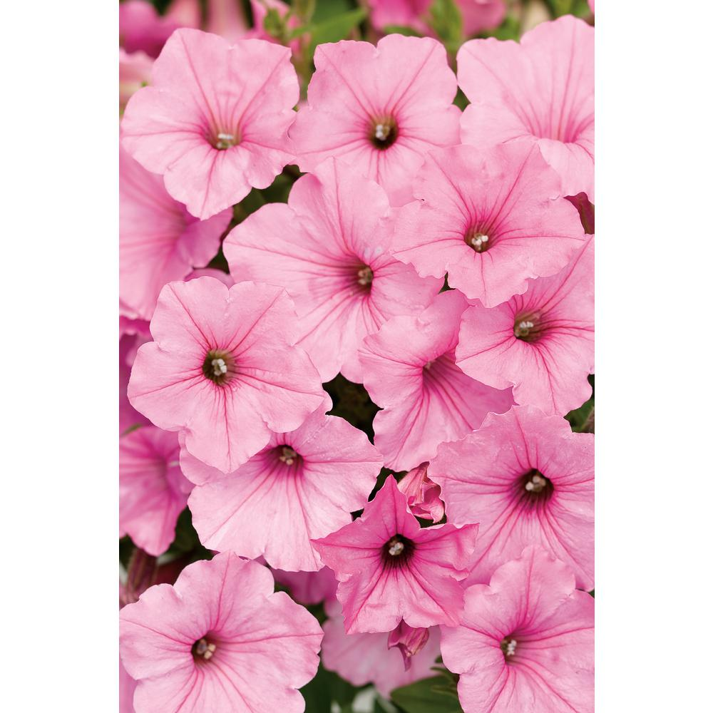 Petunia Plants Seasonal Plantslive Buy Plants Online