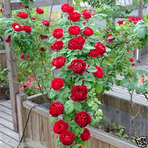 12 pcs rare red climbing rose seeds perennial flower seeds for 12 pcs rare red climbing rose seeds perennial flower seeds for garden decor plantslive buy plants online india mightylinksfo