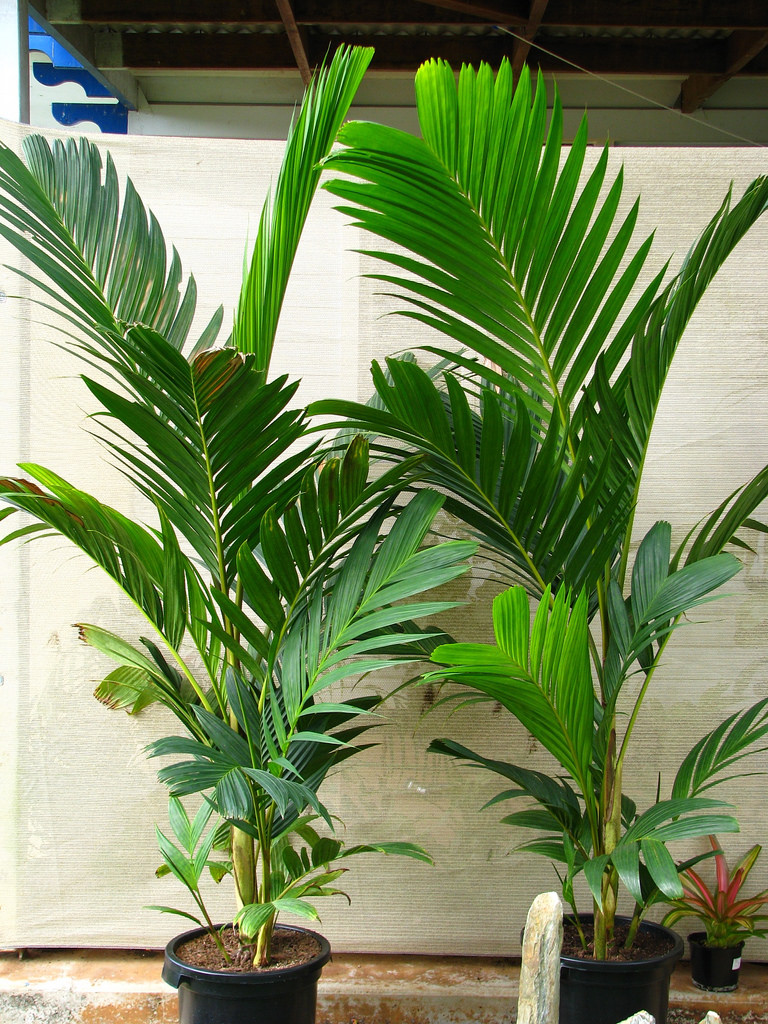 Ivory cane palm plant buy plants online india for Plantes online