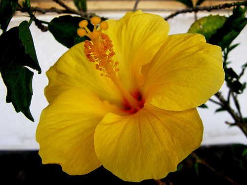 Hibiscus Plant Plantslive Buy Plants Online India