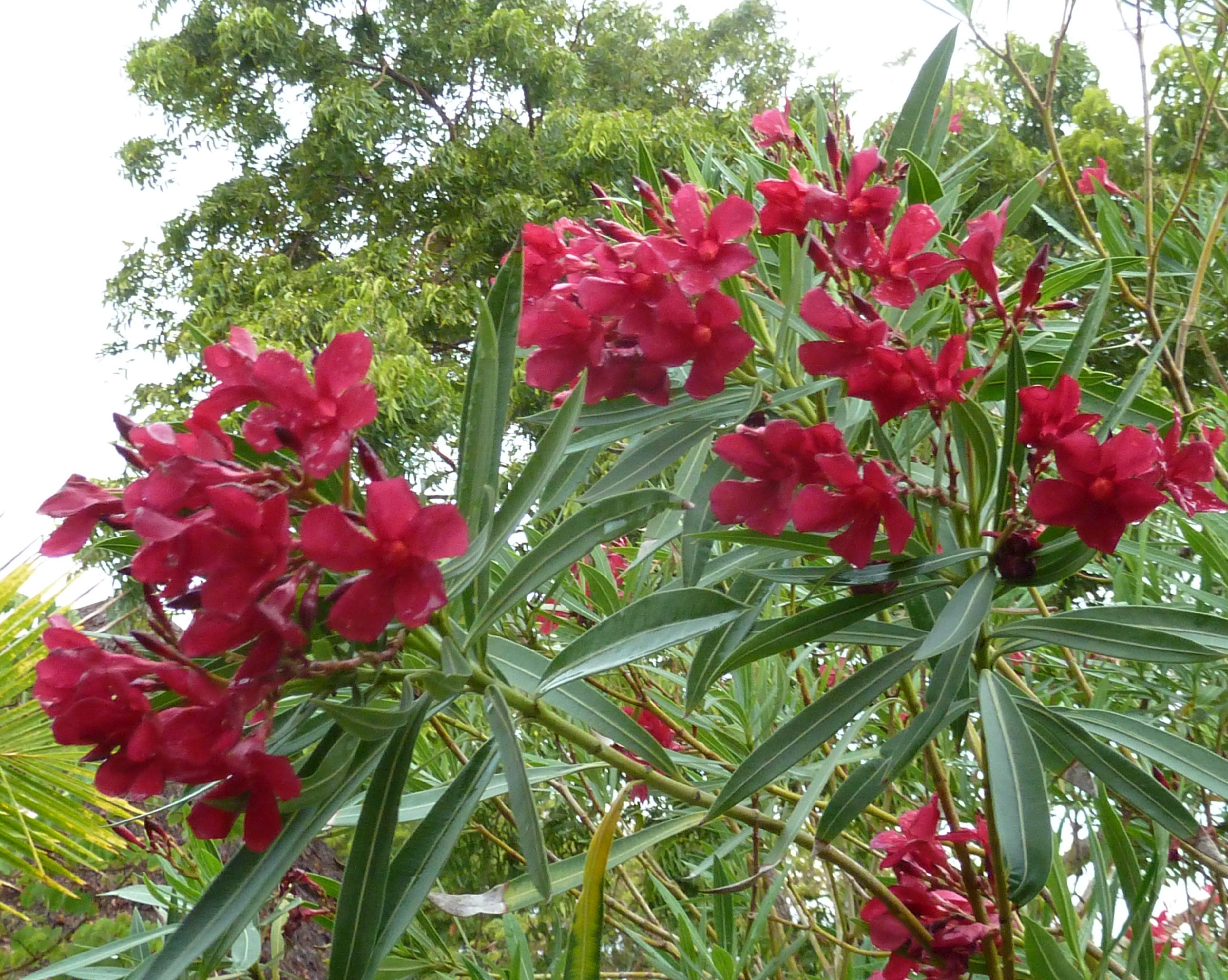 Kaner nerium oleander variegated plant plantslive for Garden plants