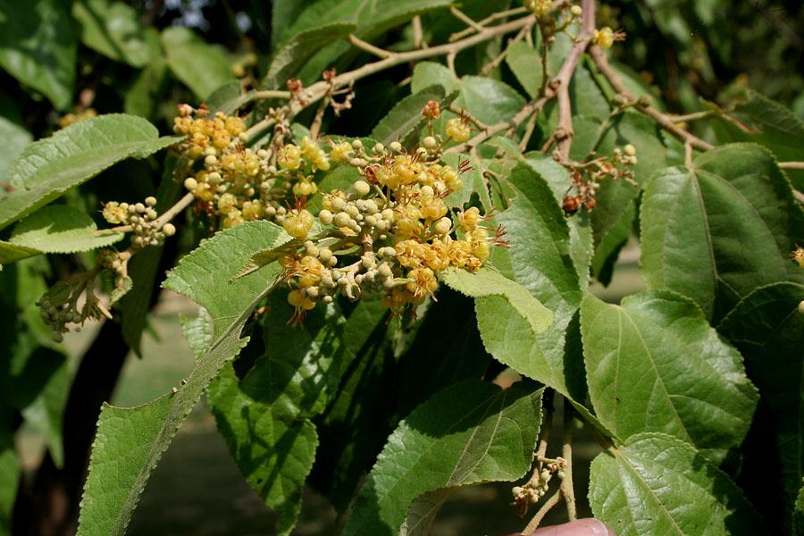 Buy plants online india guazuma ulmifolia plant for Buy plans online