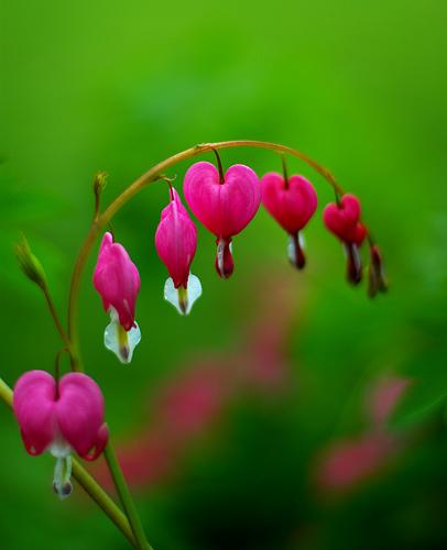 Bleeding Heart Plant Plantslive Buy Plants Online India