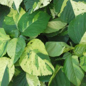 Search Results For Acalypha Plantslive Buy Plants Online India