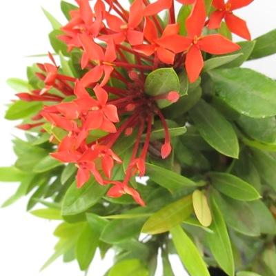 Ixora long singapuri ixora plant plantslive buy for Plants that live long