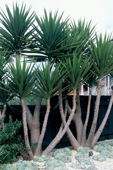 Yucca Plant Plantslive Buy Plants Online India