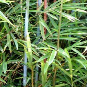 Bamboos & Grasses