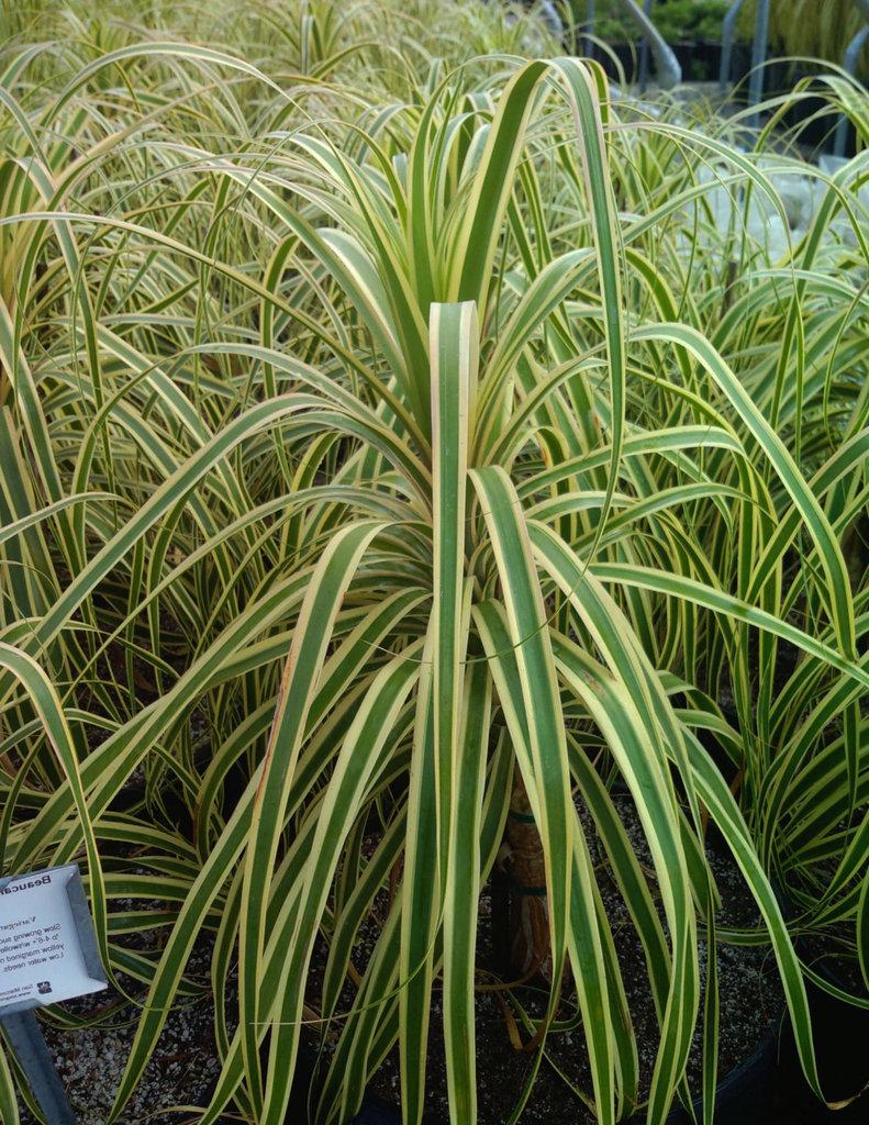 Beaucarnea recurvata variegata plant plantslive buy for Beaucarnea recurvata
