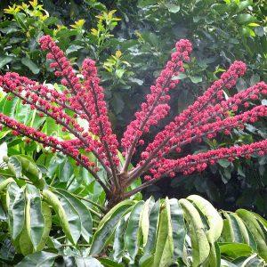 buy-Brassia actinophylla - Plant