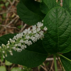 buy-Buddleja asiatica - Plant