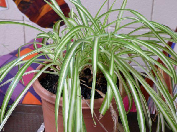 buy-buy-Combreatum comosum - Plant
