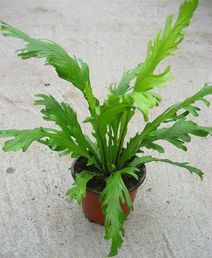 buy-buy-plantslive-Asplenium nidus fimbriatum - Plant
