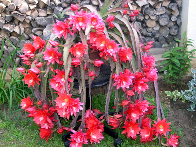 Disocactus ackermannii plant buy plants online india for Buy plans online
