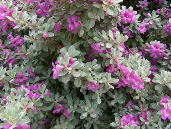 buy-Leucophyllum frutescens var green cloud - Plant