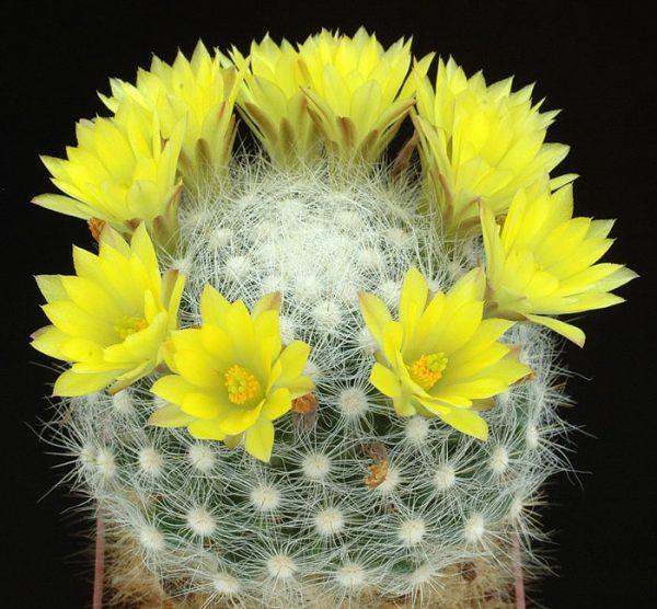 Mammillaria balmii - Plant