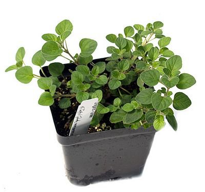 buy-Oregano - Plant