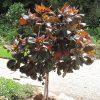 buy-plantslive-Acalypha wilkesiana moorea - Plant