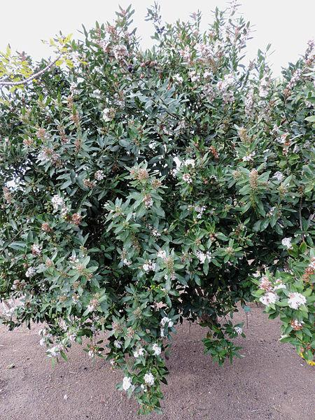 Acokanthera spectabilis plant buy plants online india for Buy plans online