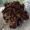 buy-plantslive-Aeonium arboreum - Plant