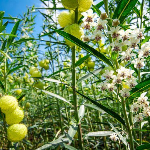buy-plantslive-Asclepias physocarpa - Plant